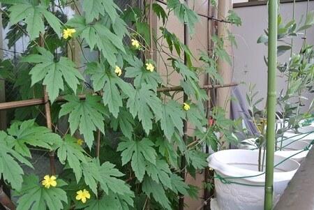 bitter-gourd-plant-4