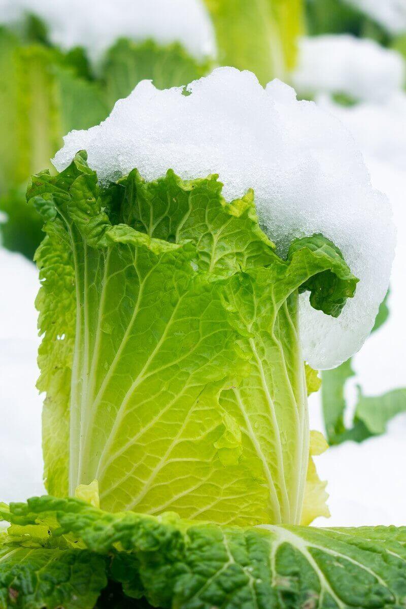 chinese-cabbage-photo-pixabay